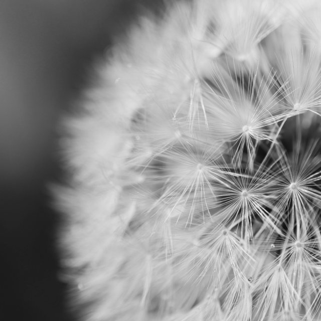 Black and white close up dandelion delicate flower