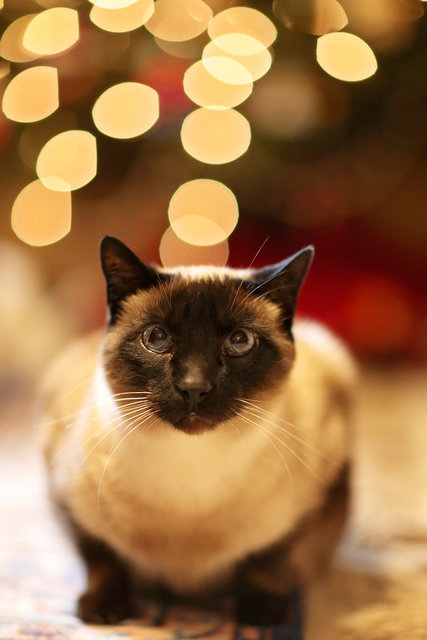 Animal blur cat christmas cute