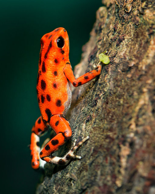 Amphibian animal biology climb close up