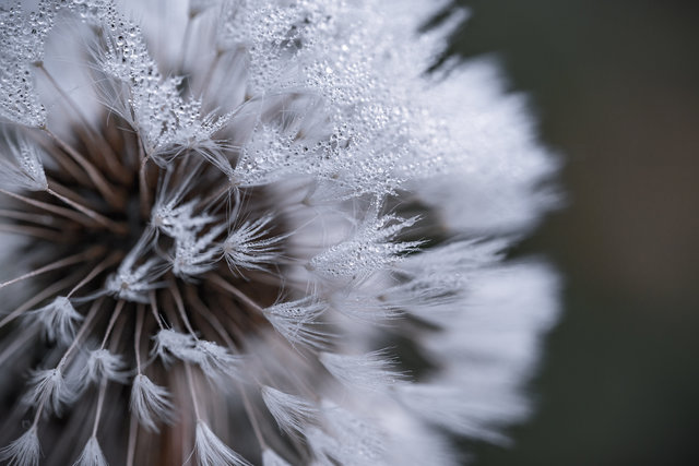 Abstract blur close up color dandelion