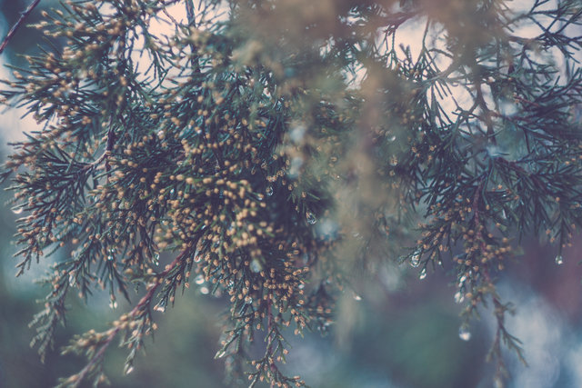 Blur branch close up conifer dew