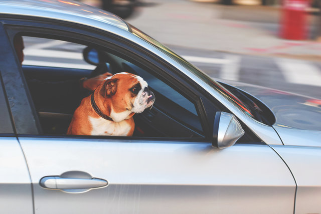 Adorable adult animal automotive blur