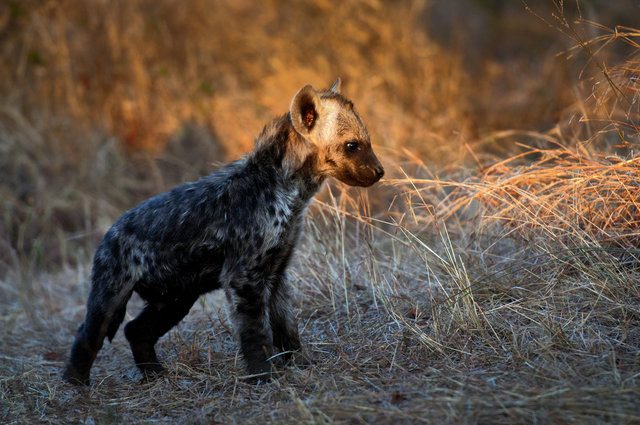 Adorable animal baby hyena color cub