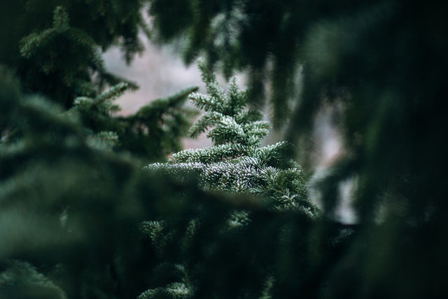 Blur branches conifer environment evergreen