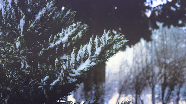 Branches cold conifer evergreen fog