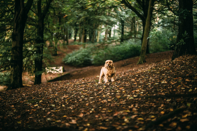 Autumn leaves canine cocker spaniel dawn daylight