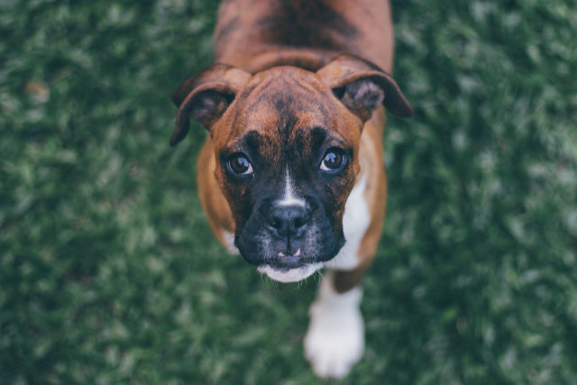 Adorable animal baby dog blur boxer
