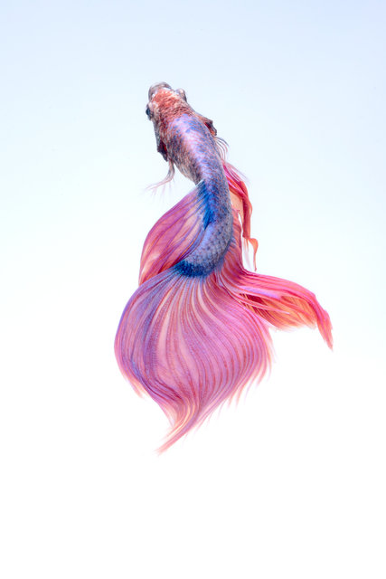 Animal art beautiful betta splendens color