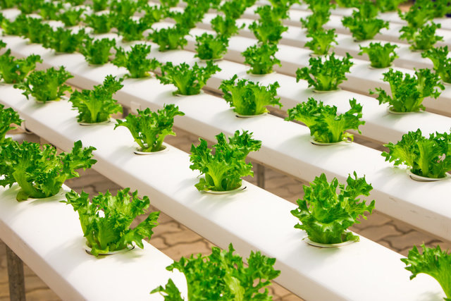 Agriculture basil bunch cultivation culture