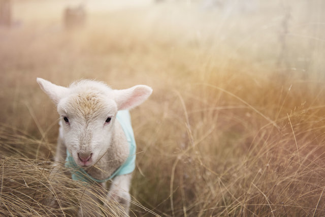 Adorable agriculture animal animal photography blur
