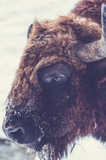 Animal animal photography bison buffalo close up