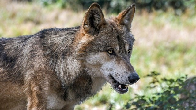 Wolf predator animal wild