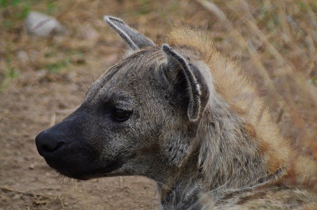 Hyena africa wildlife nature animals