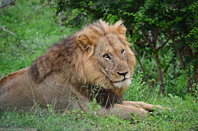 Lion wildlife animals africa nature