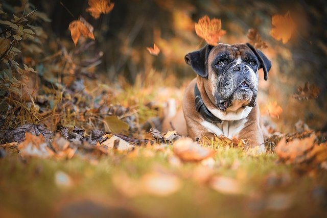 Dog boxer autumn wildlife photography pet