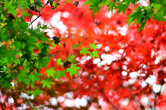 Maple leaf red maple