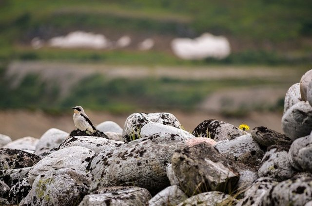 Stone pocket oenanthe bird the birds rocky