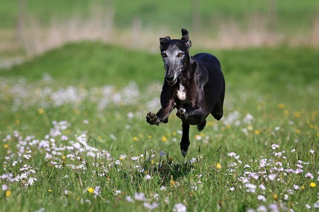 Galgo race joy of life