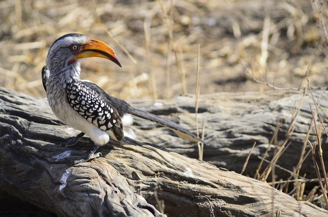 Yellow hornbill nature bird africa yellow billed