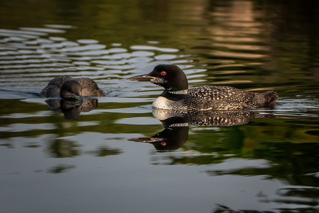 Loon nature bird lake water