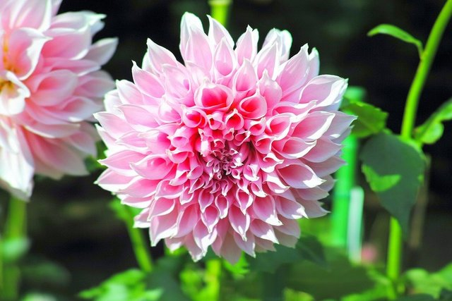 Autumn flowers dahlia japan pink