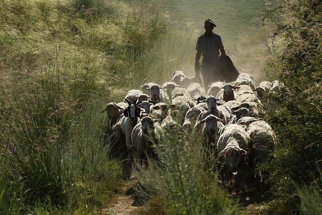 In xinjiang the flock transitions sheep animal