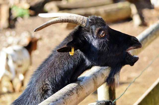 Goat livestock billy goat domestic goat horns