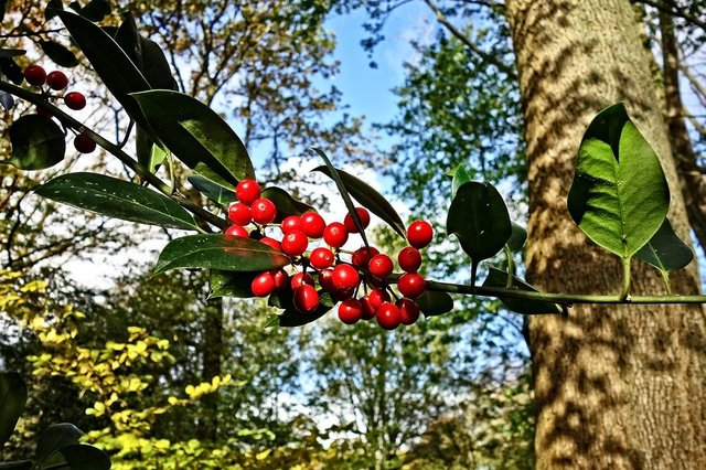 Red berries berry branch leaf tree