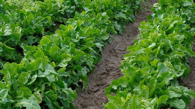 Chicory chicory roots vegetables arable field