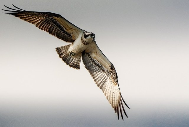 Osprey flight raptor fly nature