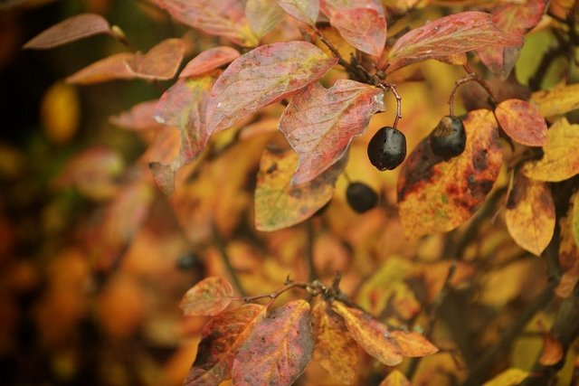 Autumn berry nature fruit barberry
