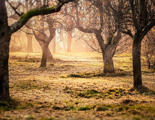 Orchard fruit trees trees morning sun mood
