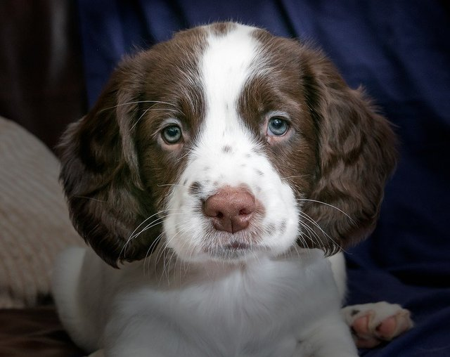 Puppy spaniel dog animal young