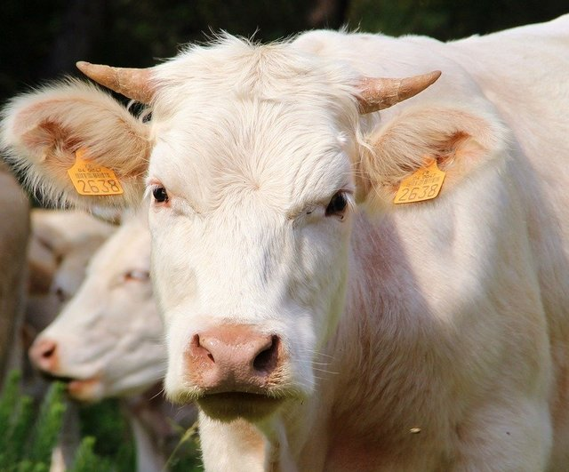 Animals cow face livestock white