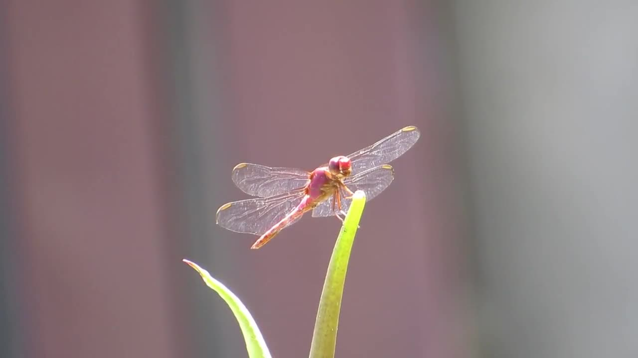 Dragonfly nature insect garden armenia