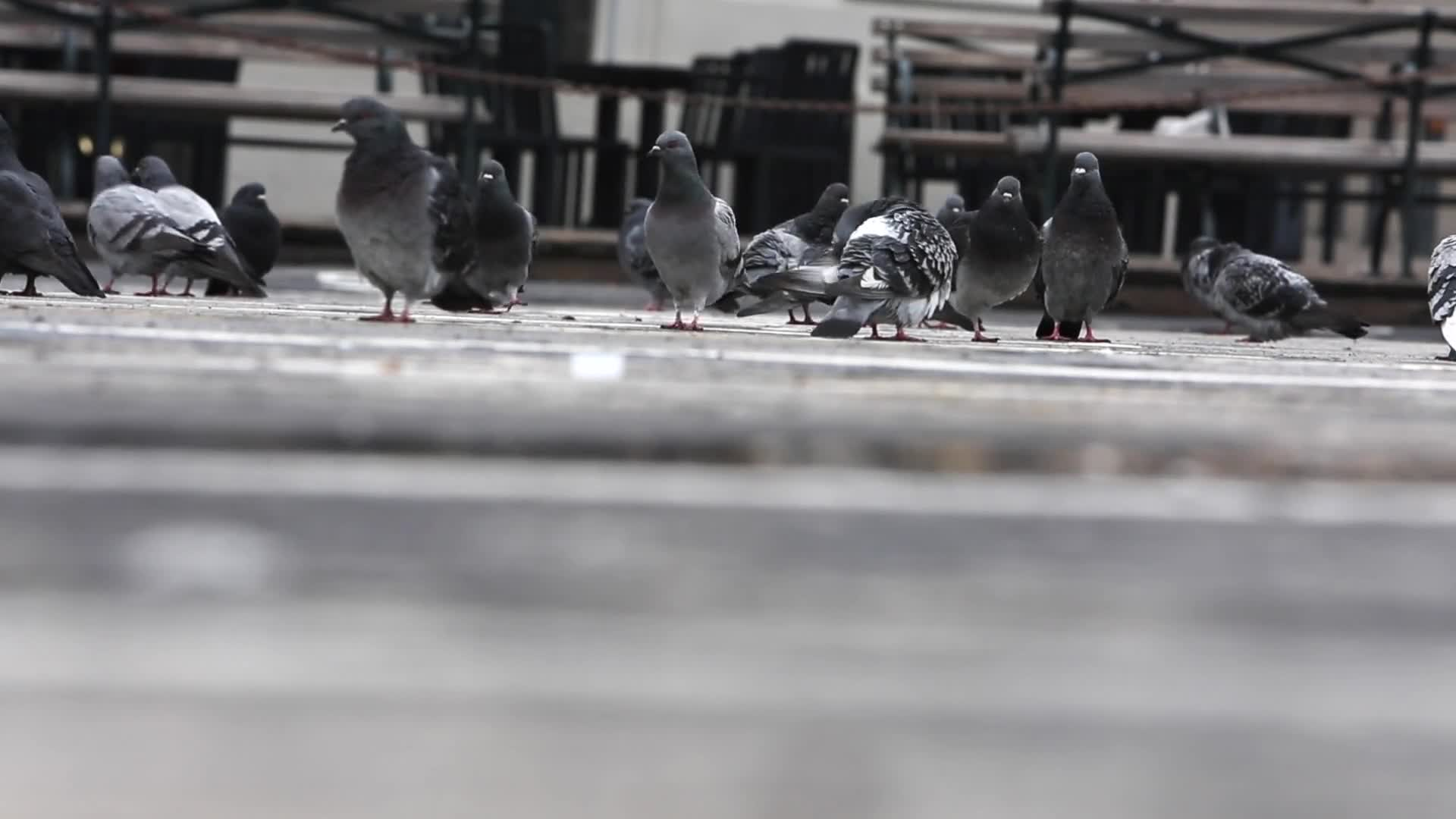 Video of pigeons eating