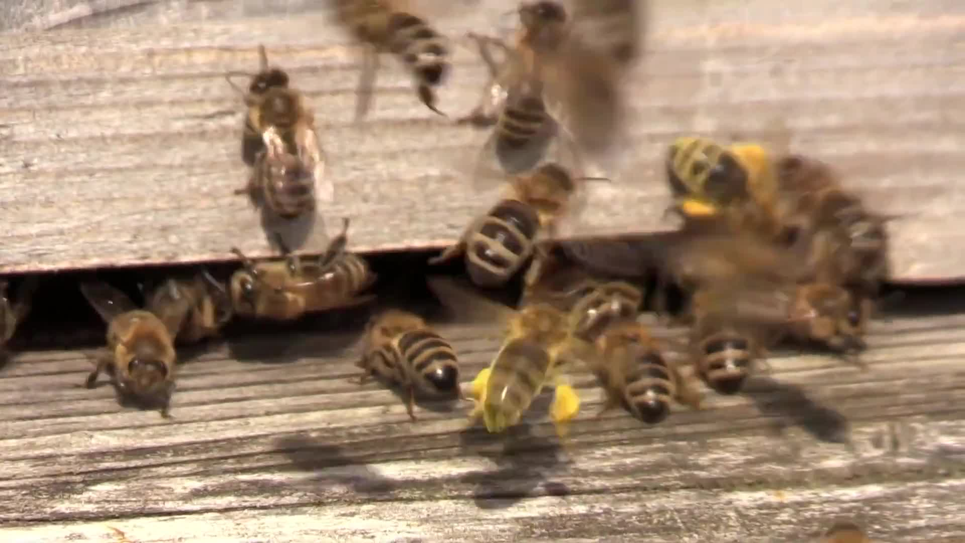 Video of flying bees