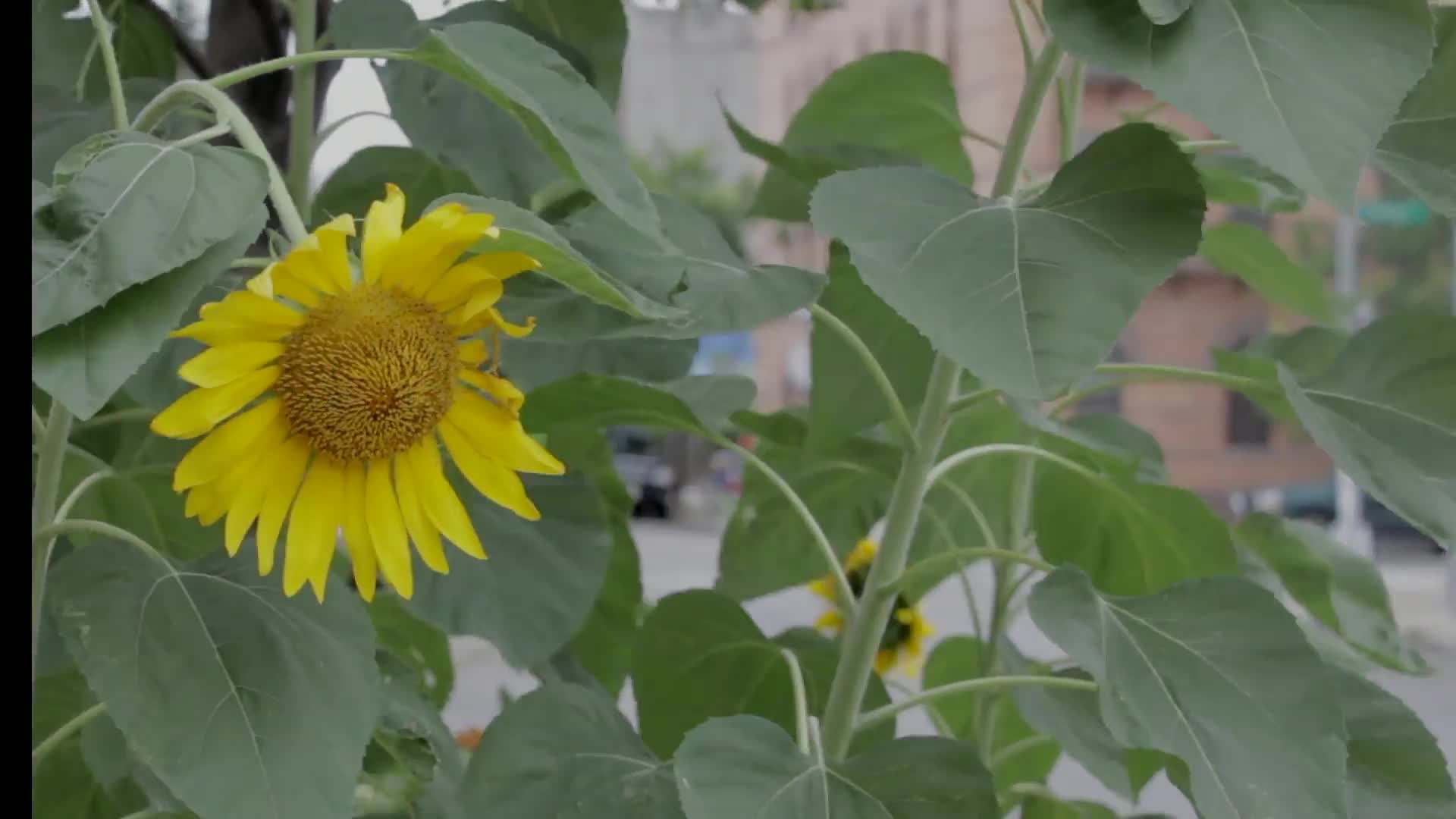 Sunflower swaying with the wind