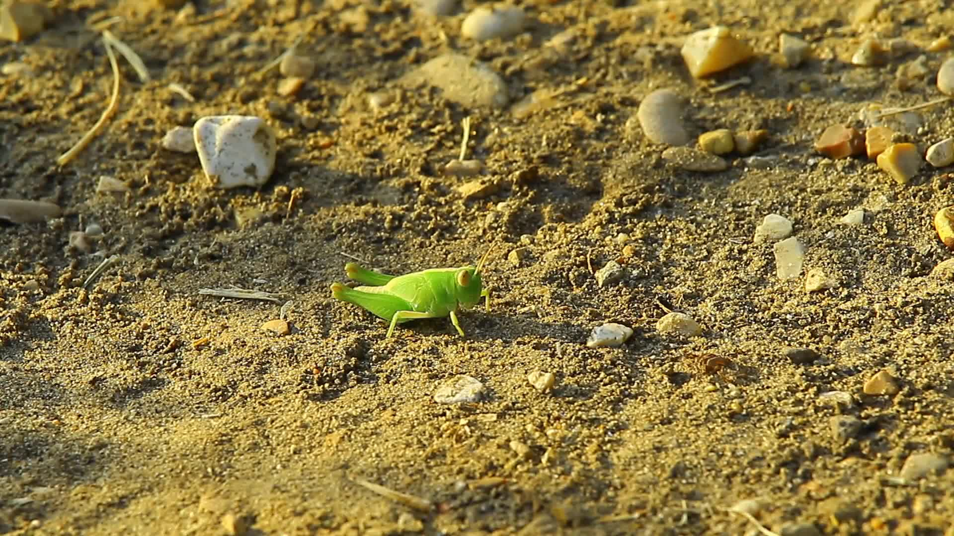 Grasshopper on ground