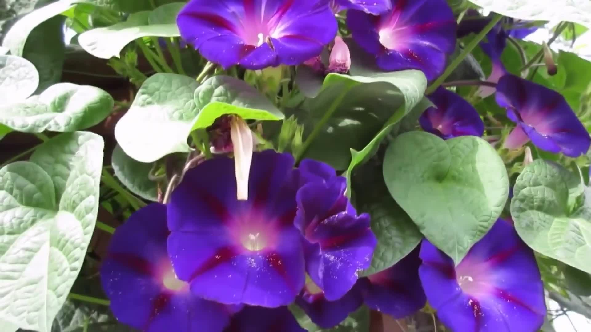 Close up of morning glory flowers