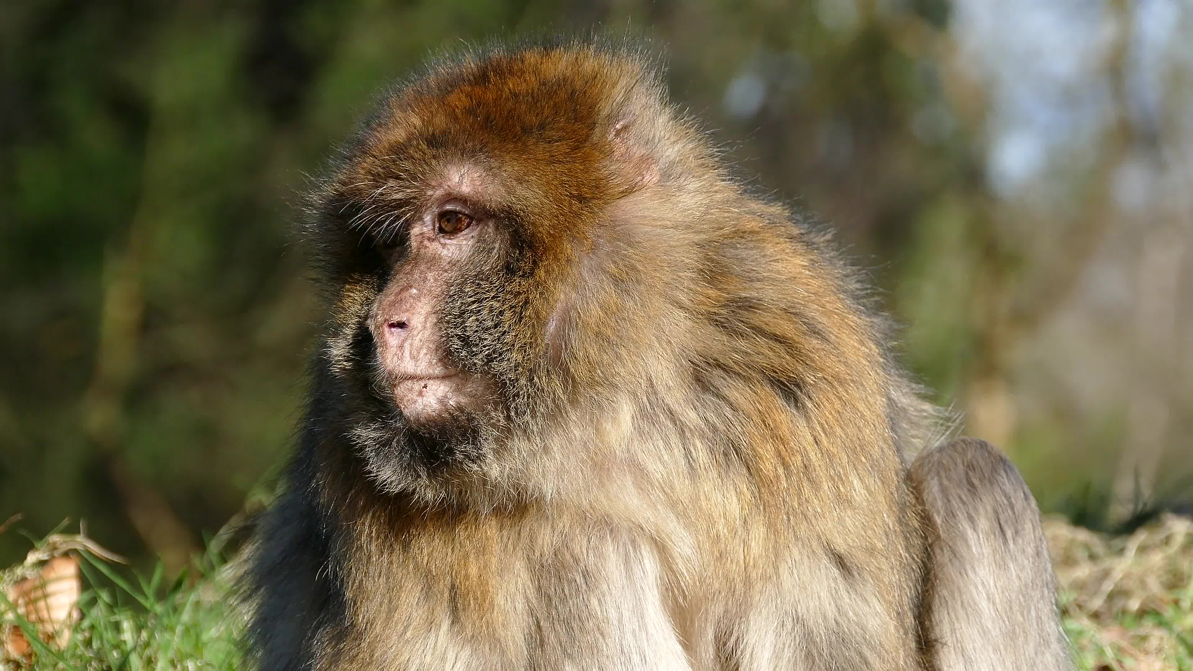 Itching macaque
