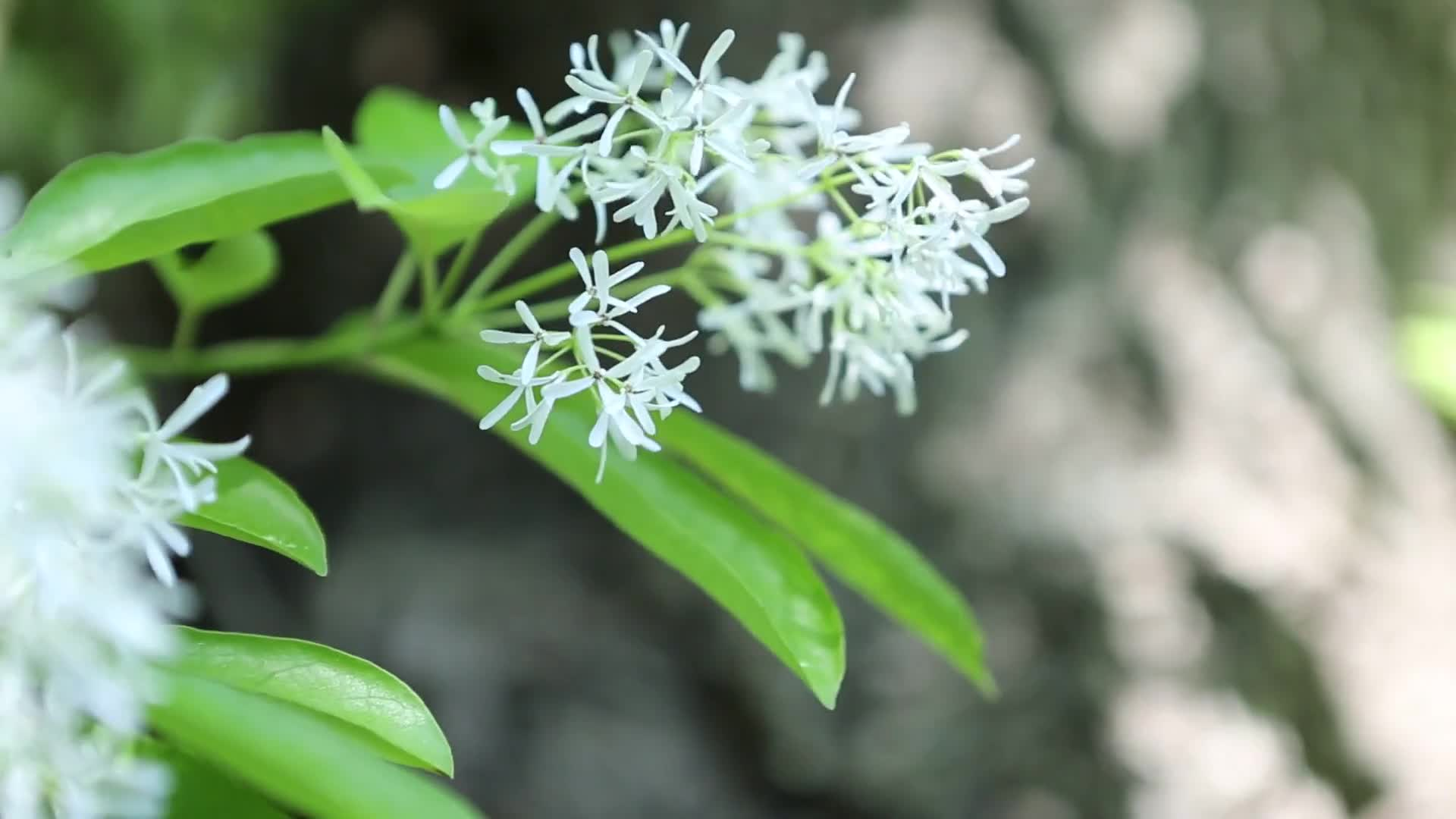 Close up video of white flower