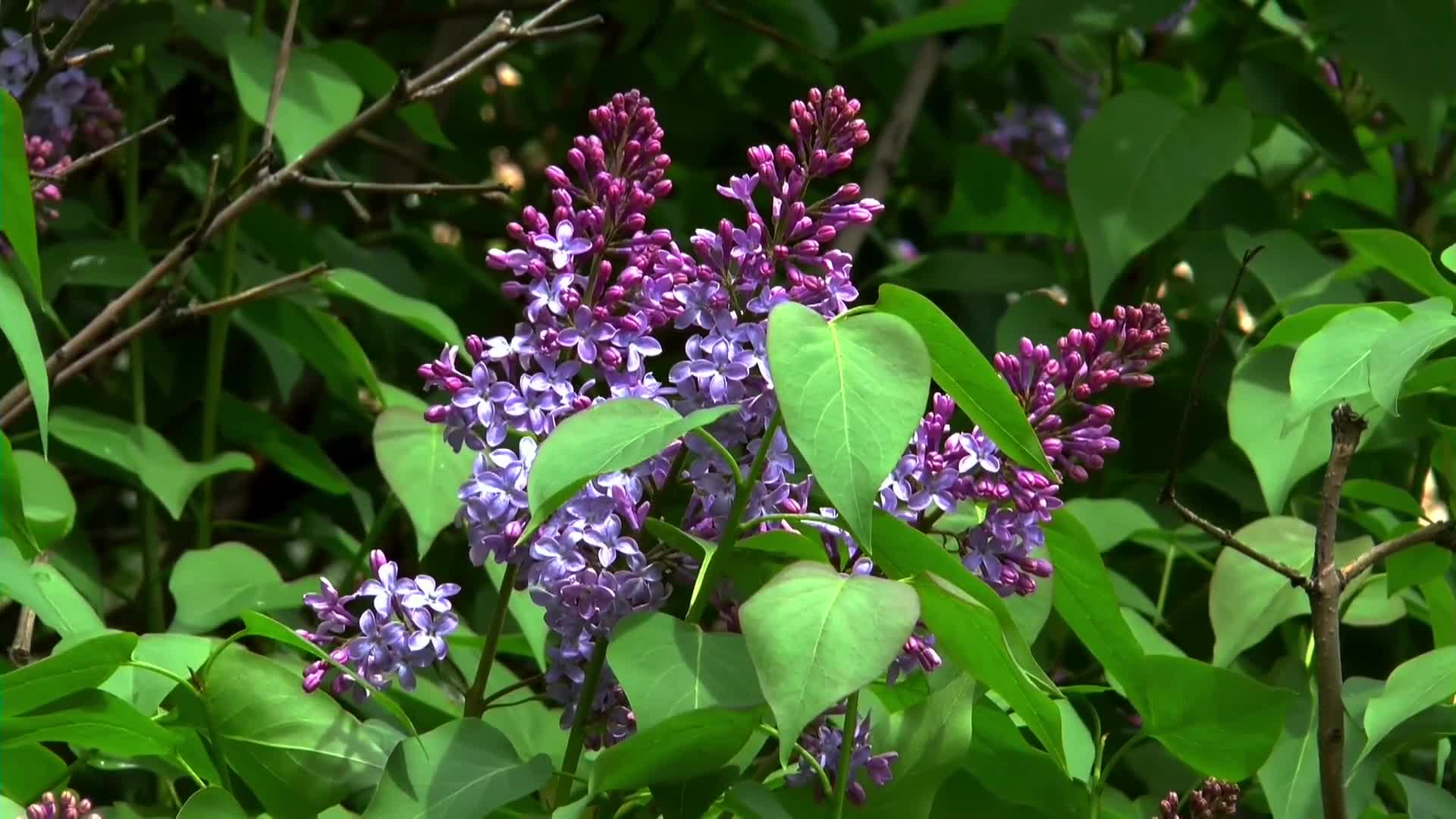 Video of purple lilac plant