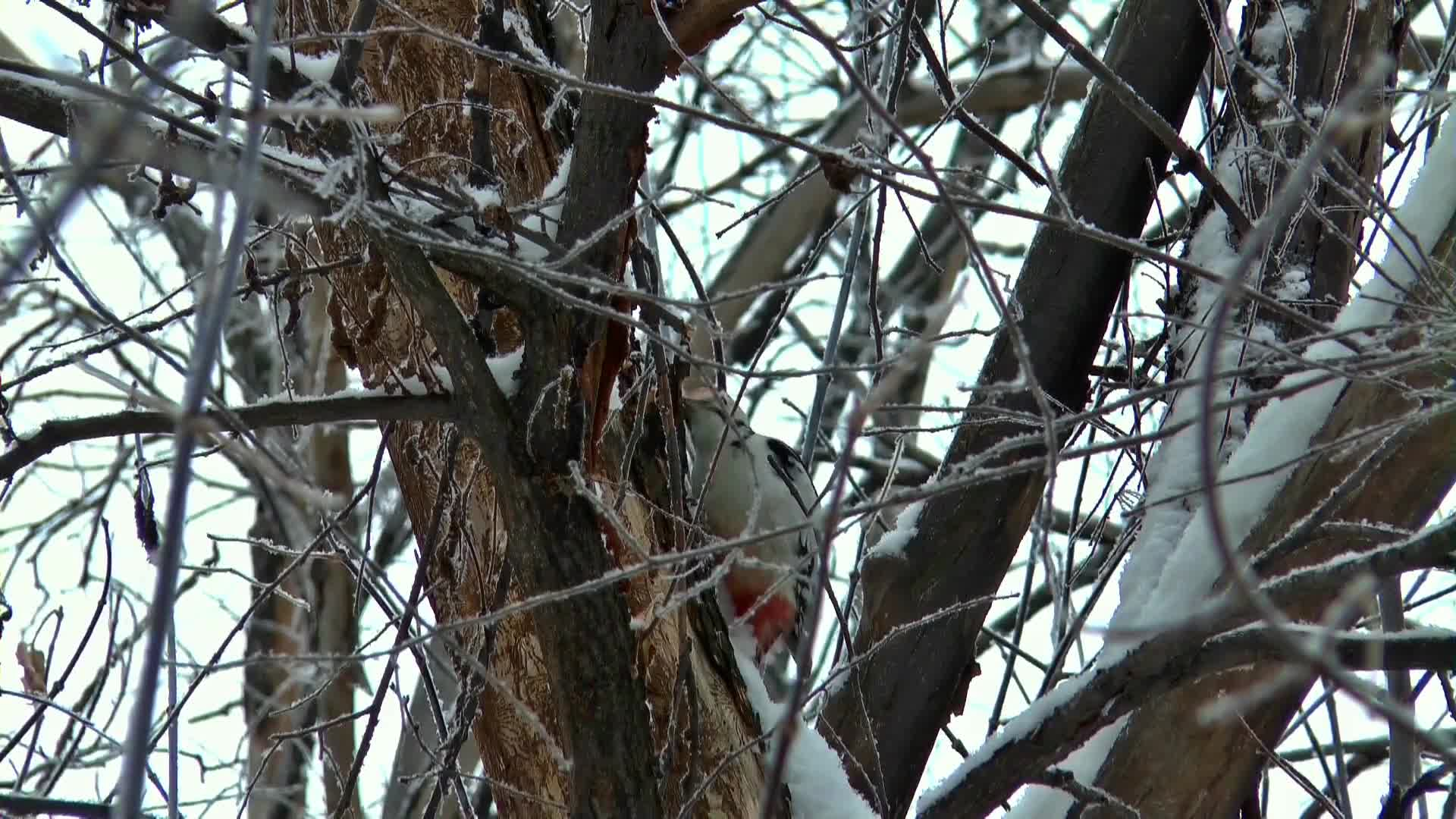 Video of a woodpecker