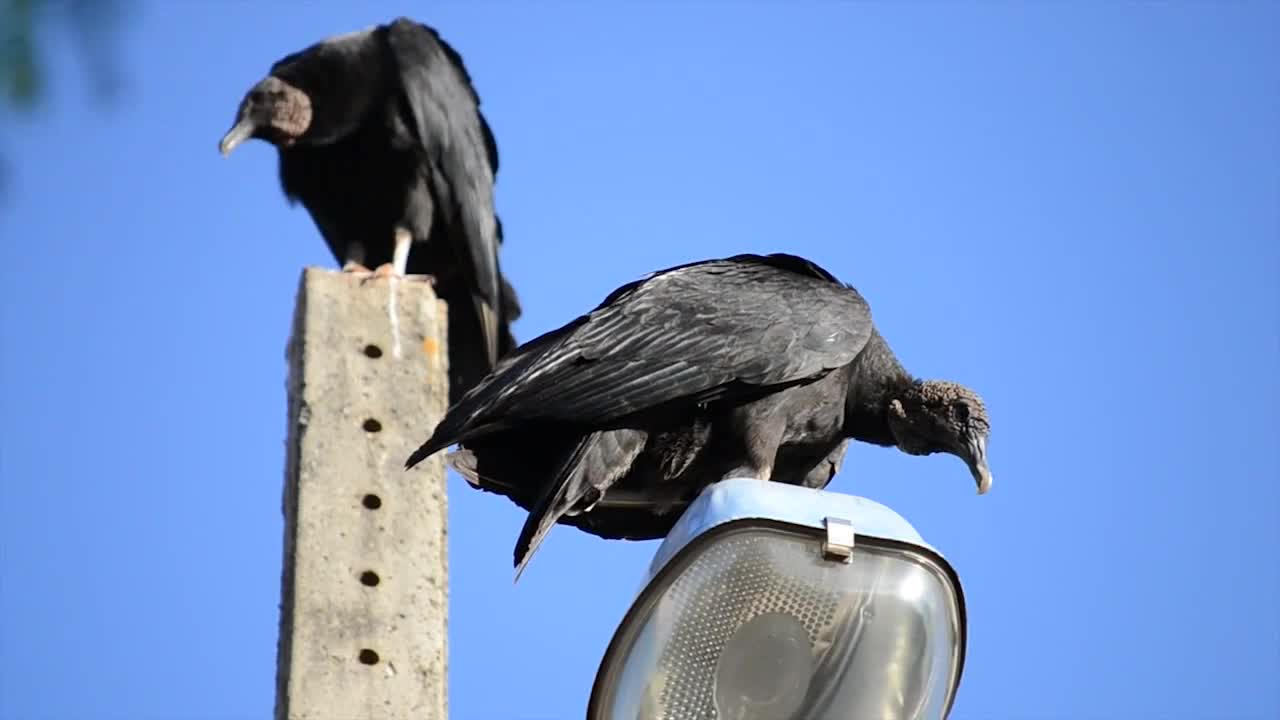 Black buzzard birds