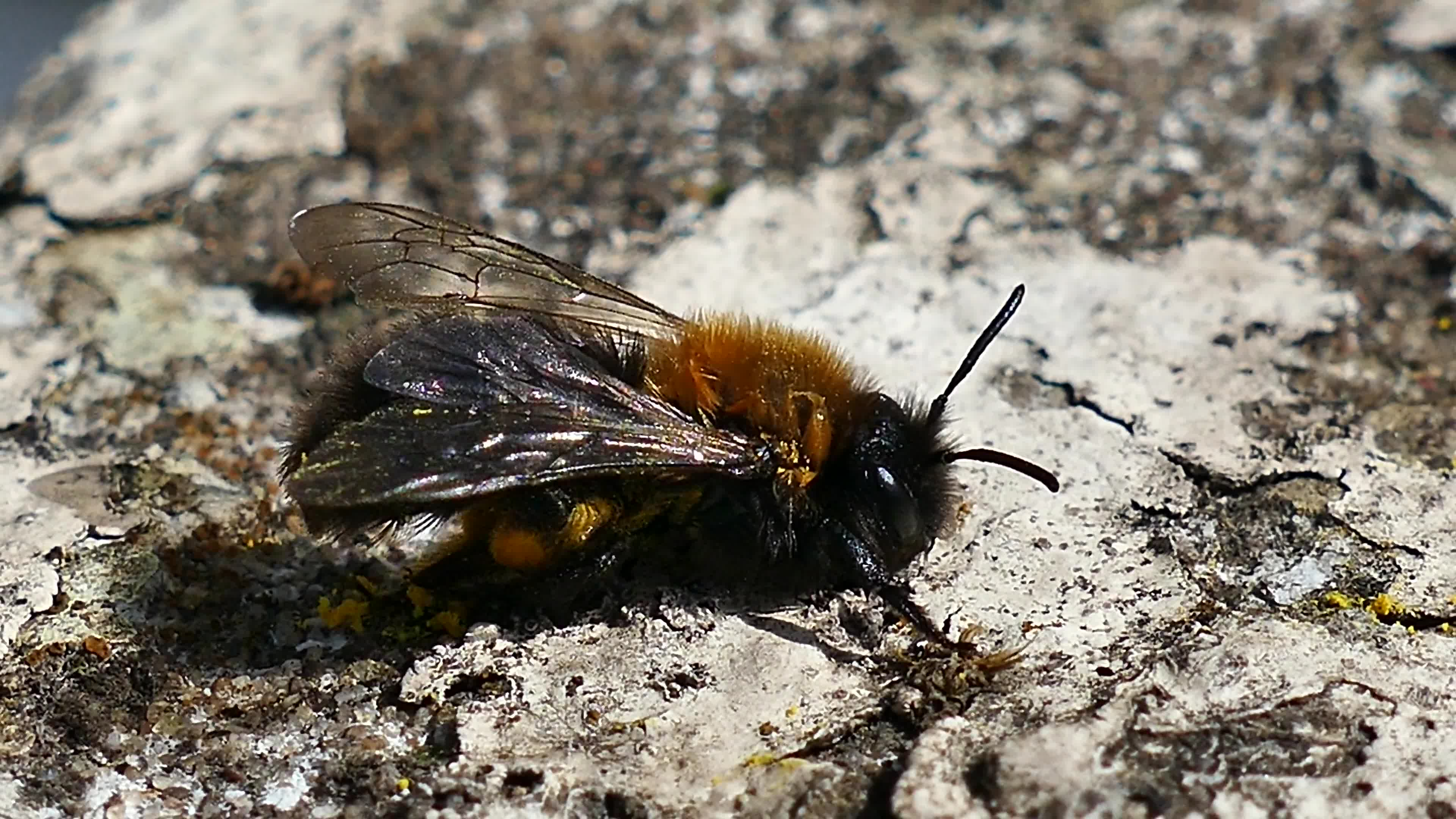 Close up video of bee