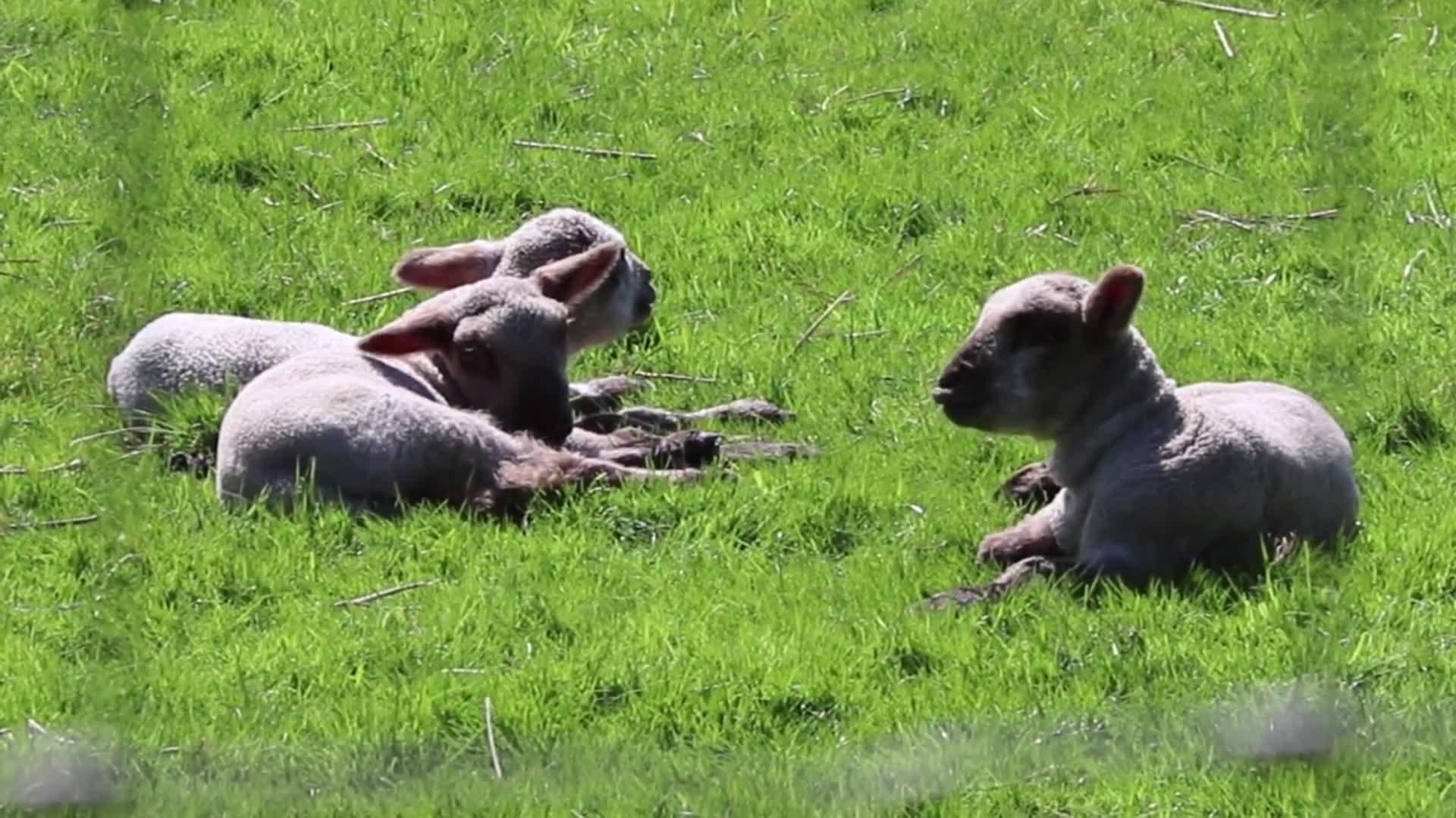Sheep resting on ground