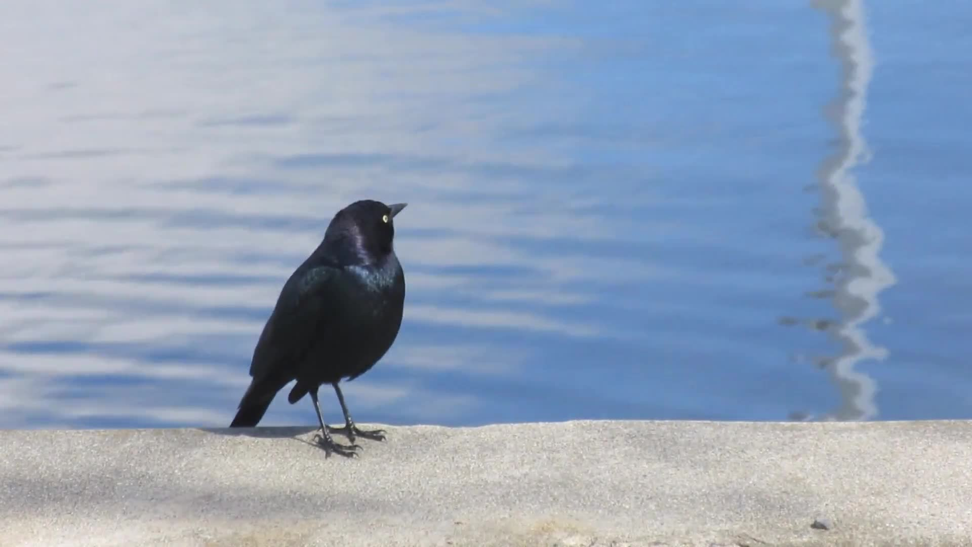 Video of black bird