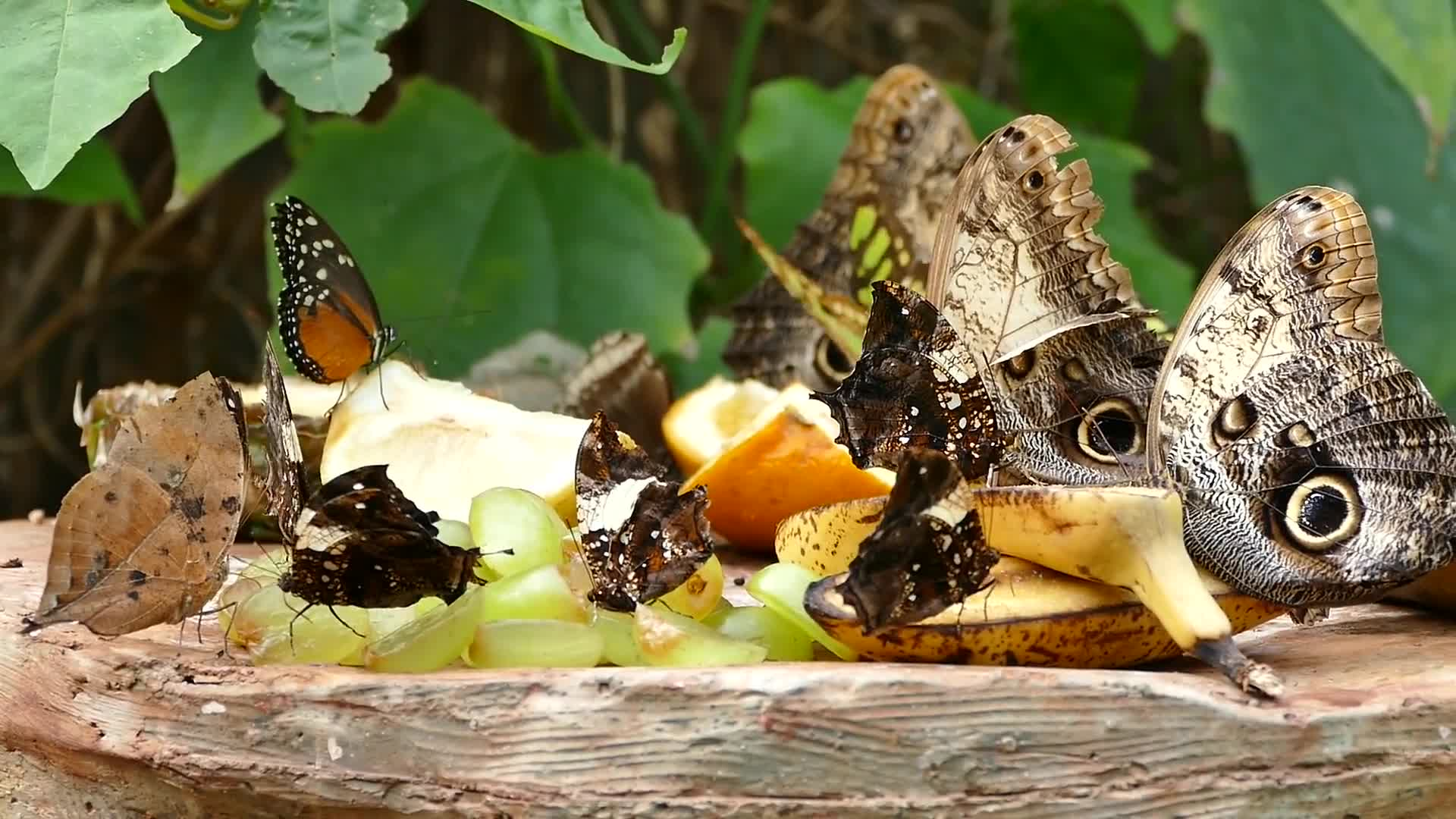 Butterflies eating fruits