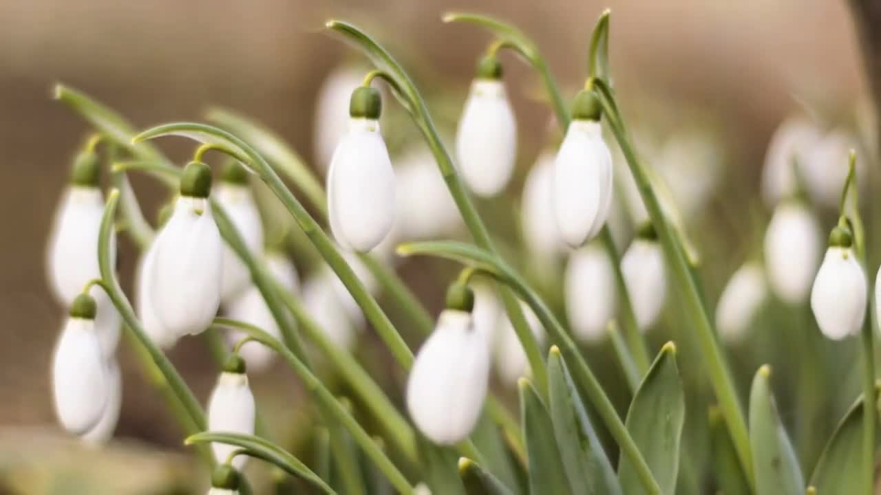 Time lapse video of blooming snowdrops